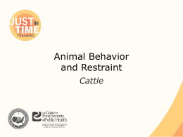 Animal Behavior and Restraint: Cattle