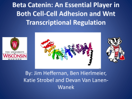 Beta Catenin: An Essential Player in Both Cell-Cell Adhesion