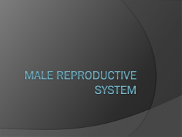 Lab Ex. 59 & 61 Male Reproductive System