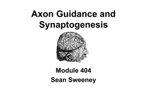 Axon guidance and synaptic development