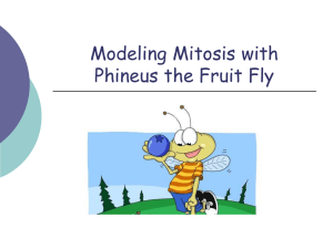 Modeling Mitosis with Phineus the Fruit Fly
