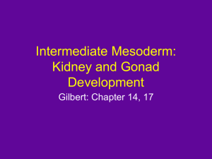 Intermediate Mesoderm: Kidney and Gonad