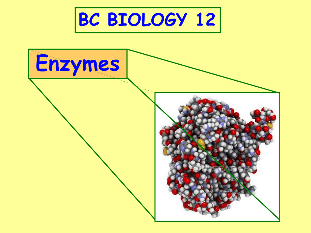 Enzymes (PowerPoint) - Akkad`s BC Biology 12