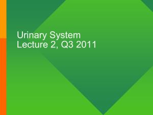Urinary System Lecture #2