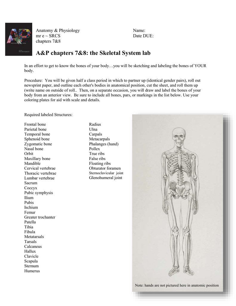 Ap Chapters 78 The Skeletal System Lab