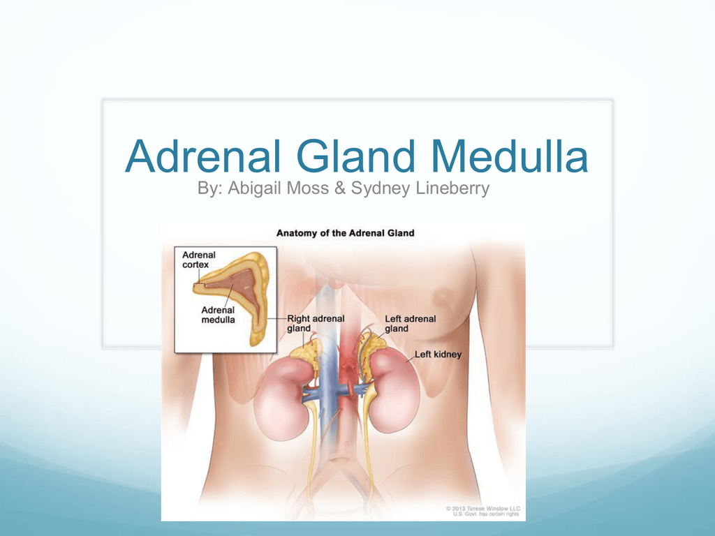 Anatomy 2b Adrenal Medulla Sydney Lineberry Abby Moss