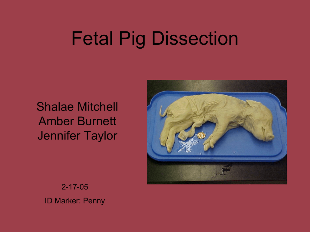 Fetal Pig Dissection