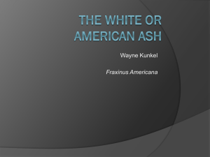 The White or american ash Fraxinus americana