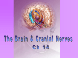 Chapter 14: The Brain & Cranial Nerves