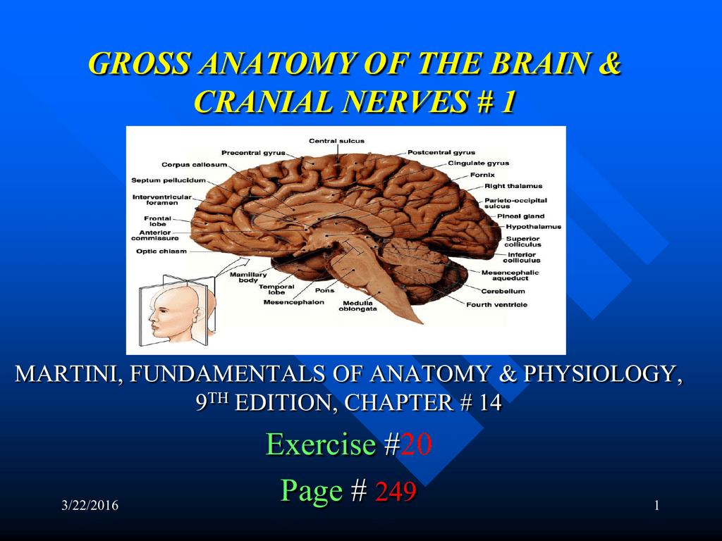 gross anatomy of the brain & cranial nerves