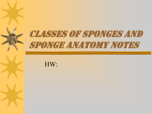 classes of sponges and sponge anatomy notes