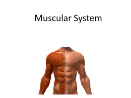 Muscular System lesson 4