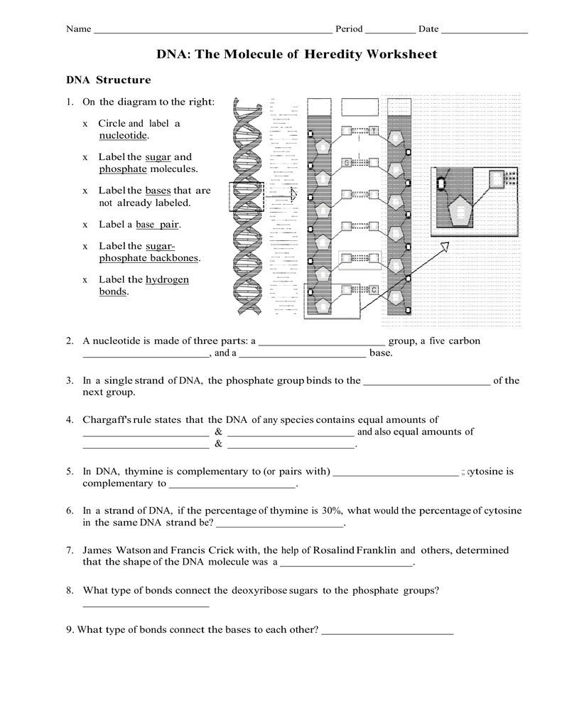 Worksheets Dna The Molecule Of Heredity Worksheet file