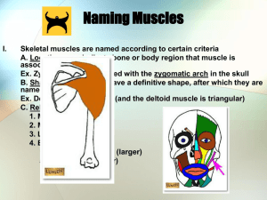 Naming Muscle