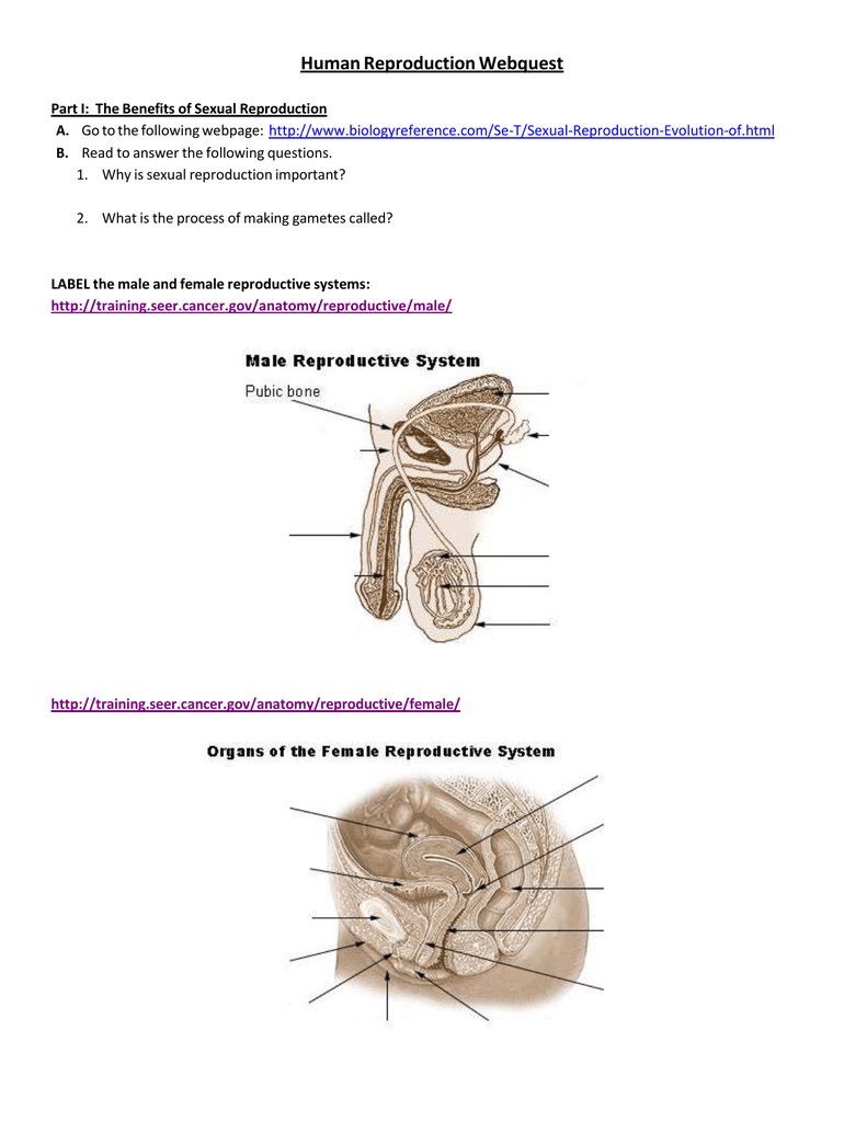 Reproductive system in humans pdf creator