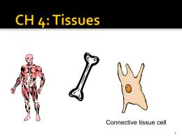 Dense Connective Tissue
