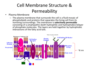 Cell Membrane Structure & Permeability