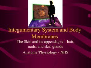 Integumentary System and Body Membranes