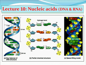 Lecture 10: Nucleic acids (DNA & RNA)