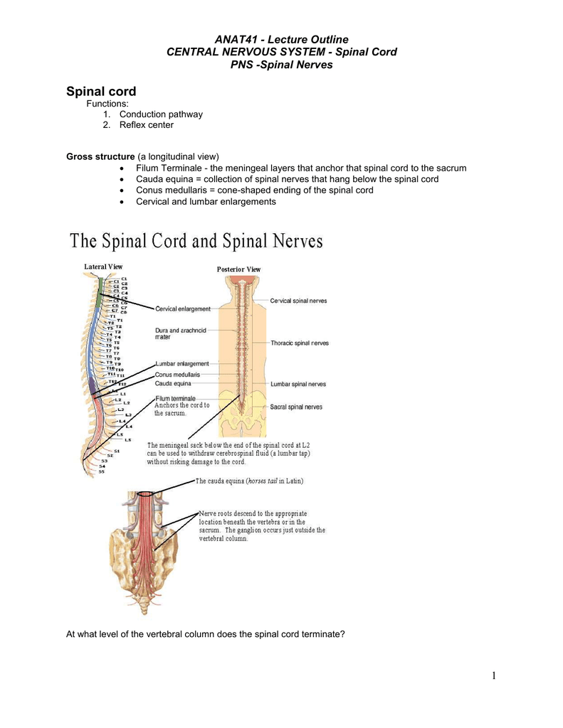 Lecture Outline Spinal Cord Upper three quarters of the filum; lecture outline spinal cord