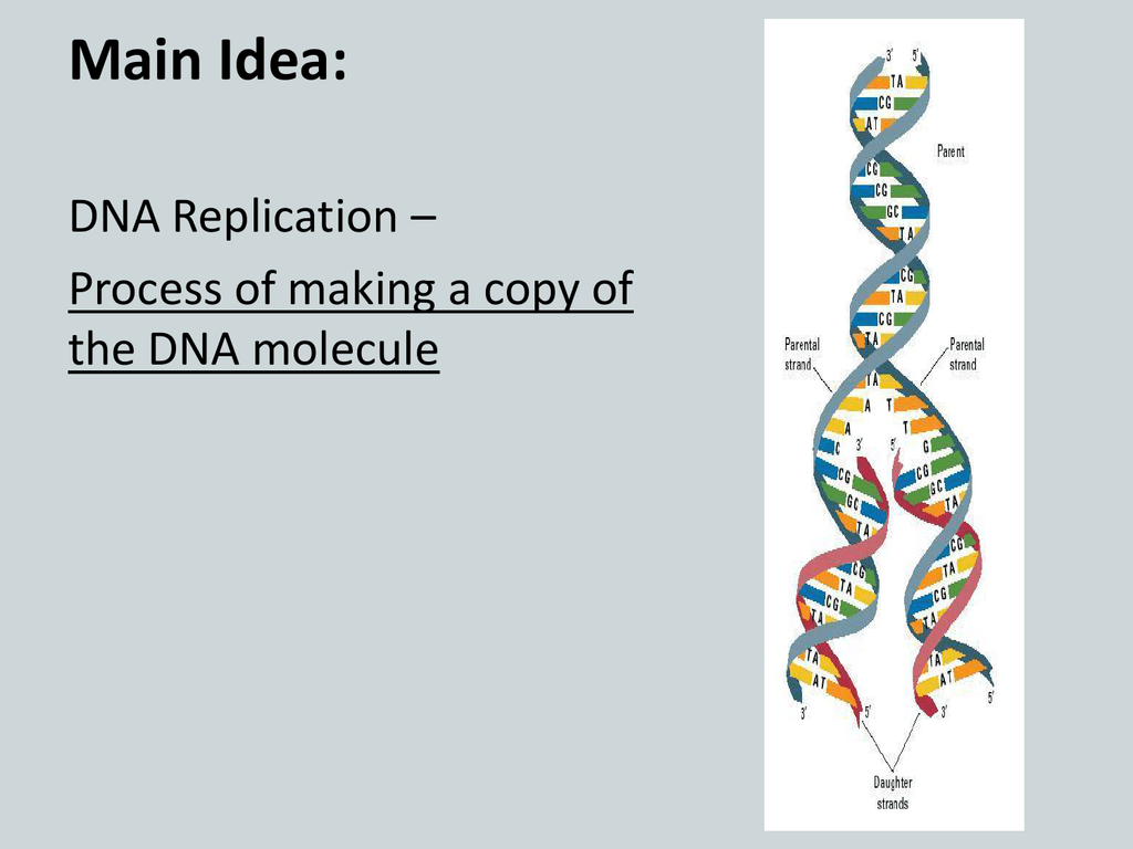 Section 8.3 DNA Replication