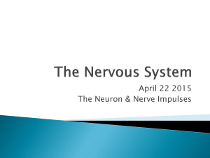 Neurons & Nerve Impulses