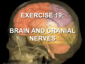 exercise 19: brain and cranial nerves