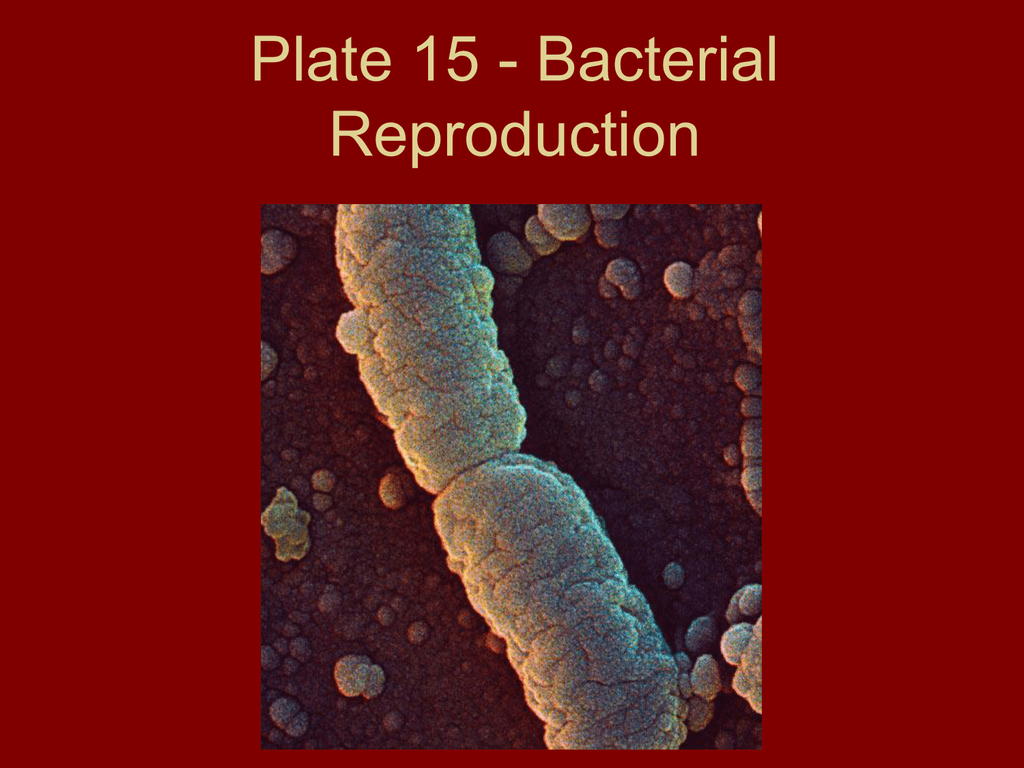 Polychaete asexual reproduction in bacteria