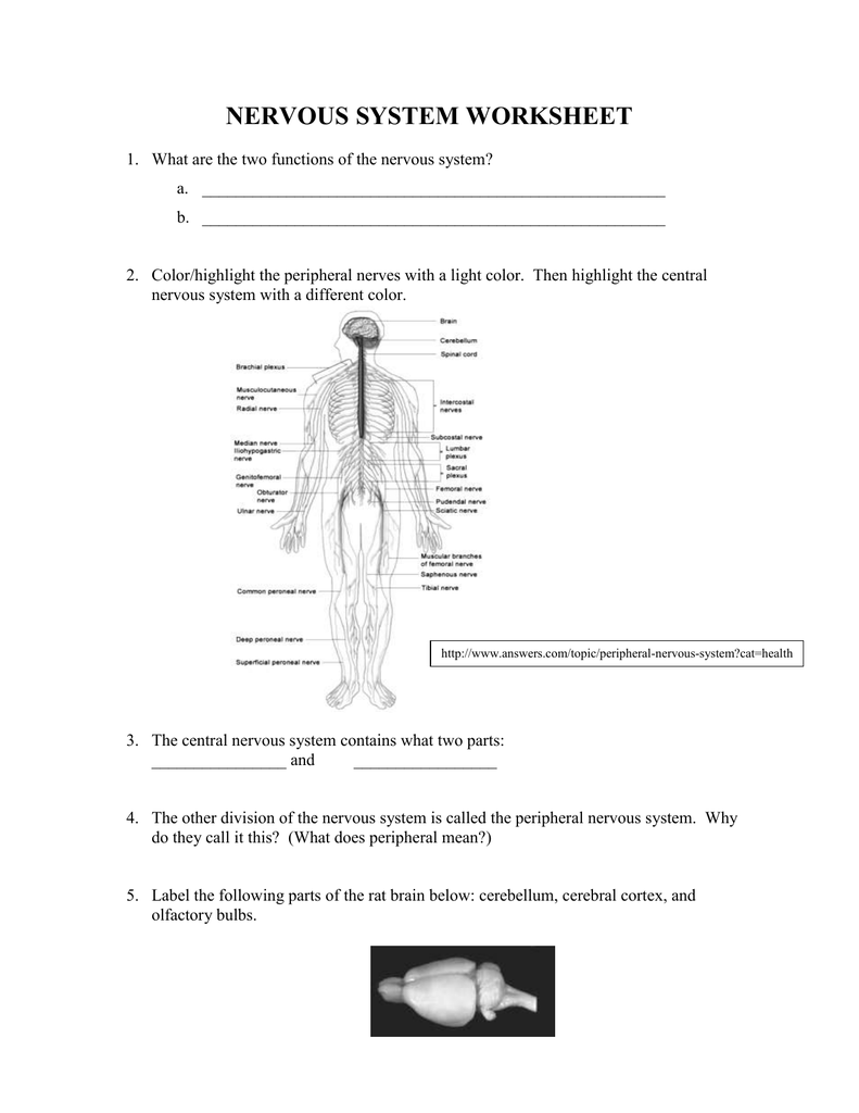 Nervous System – Central Nervous System Worksheet