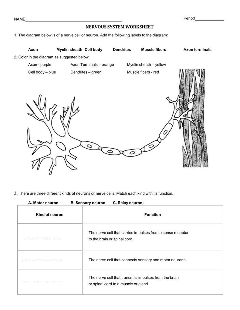 Worksheets Nervous System Worksheet nervous system worksheet