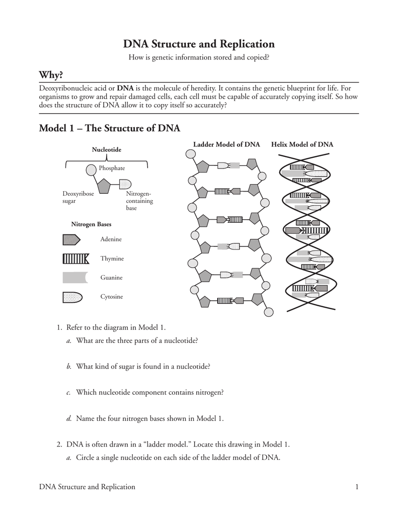 {DNA Structure and Replication Why – Dna Structure and Replication Worksheet