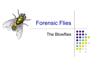 Forensic Flies The Blowflies