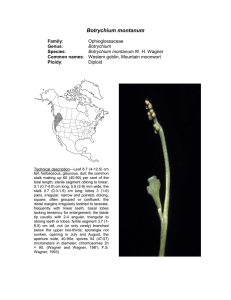 Botrychium  Ophioglossaceae Diploid