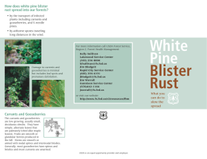 How does white pine blister rust spread into our forests?