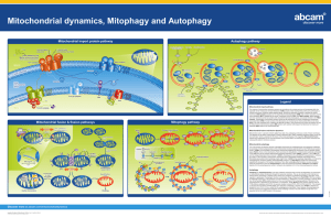 Mitochondrial dynamics, Mitophagy and Autophagy Mitochondrial import protein pathway Autophagy pathway Legend