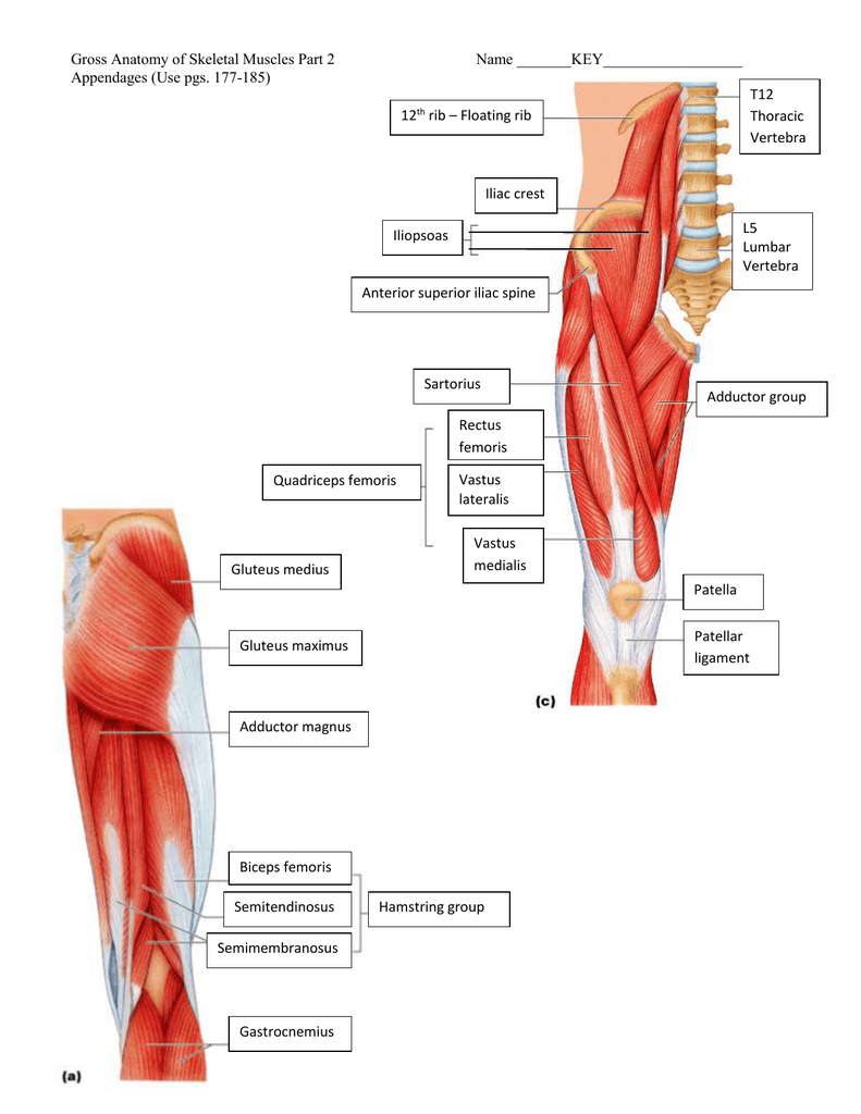 Gross Anatomy Of Skeletal Muscles Part 2 Name