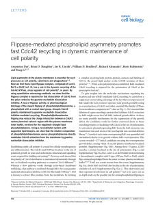 Flippase-mediated phospholipid asymmetry promotes fast Cdc42 recycling in dynamic maintenance of