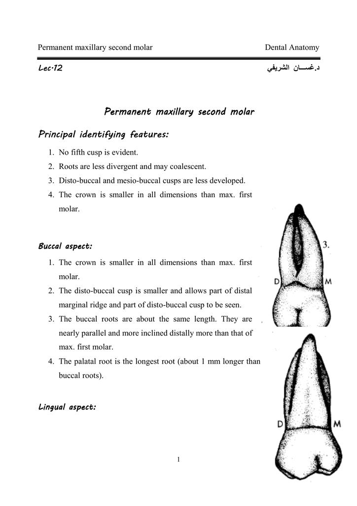 Permanent Maxillary Second Molar