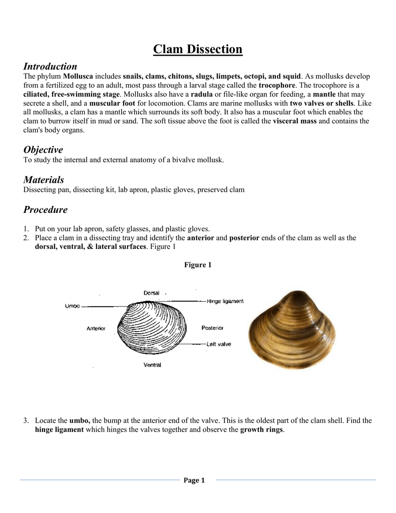 Clam Dissection Introduction