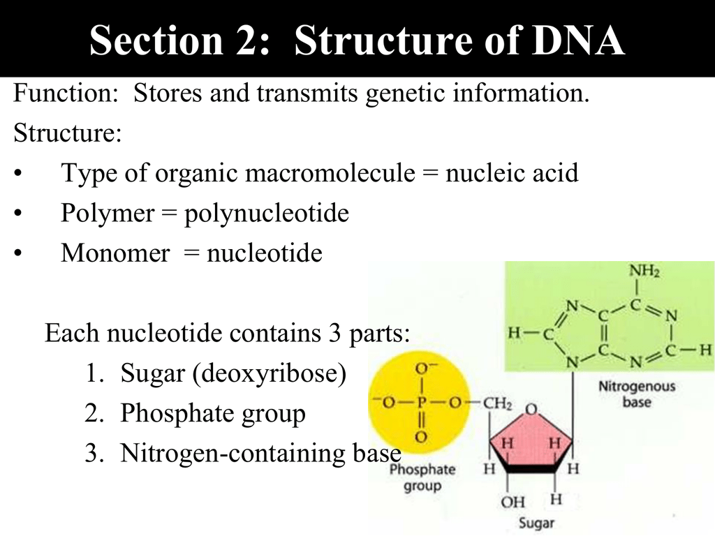 Section 2: Structure of DNA