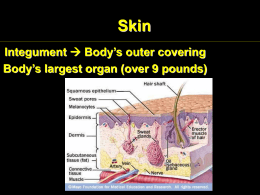 Skin Body's outer covering Integument Body's largest organ (over 9 pounds)