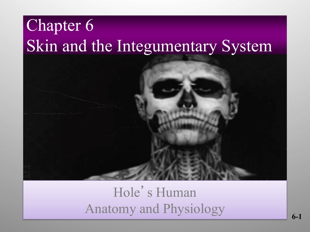 Chapter 6 Skin and the Integumentary System Hole\'s Human Anatomy and ...