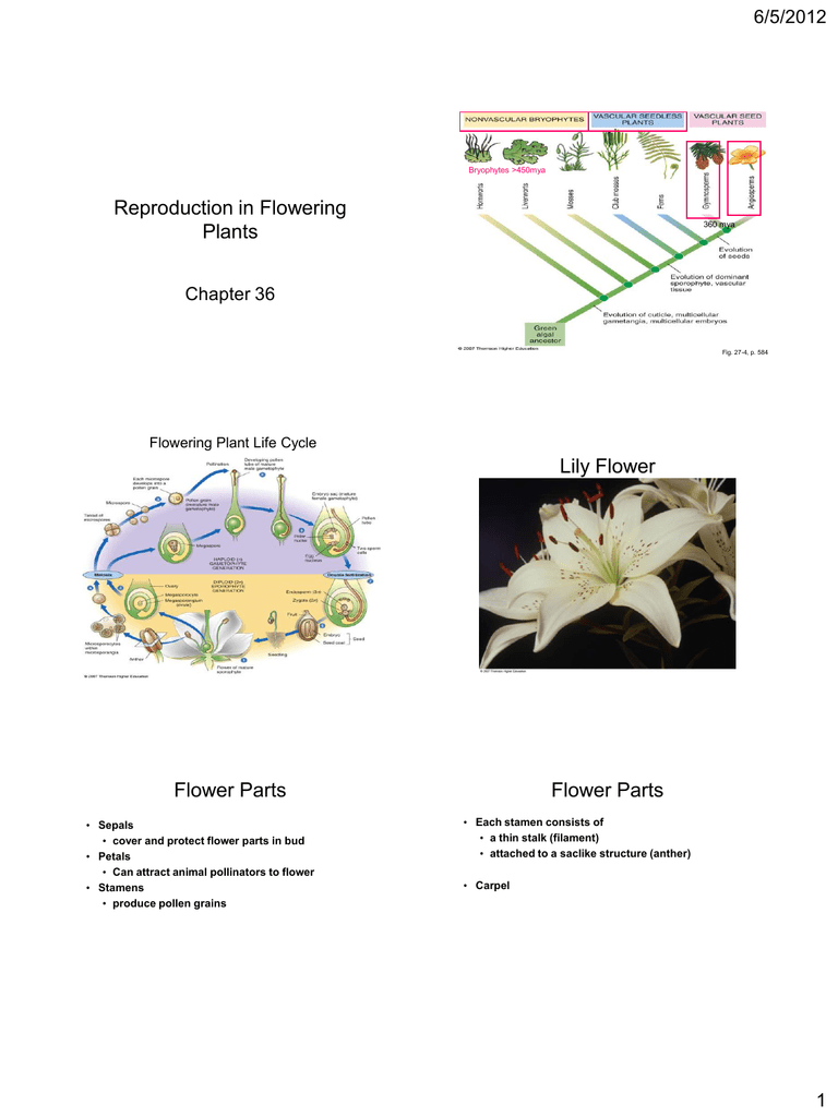 Reproduction In Flowering Plants Lily Flower Flower Parts