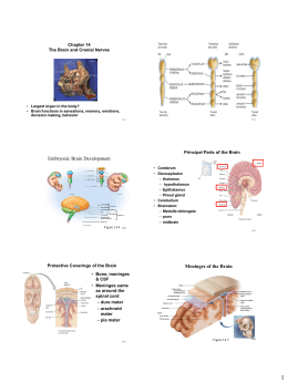 Embryonic Brain Development Chapter 14 The Brain and Cranial Nerves