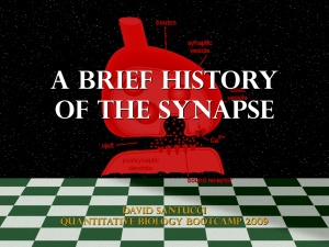 A BRIEF HISTORY OF THE SYNAPSE DAVID SANTUCCI QUANTITATIVE BIOLOGY BOOTCAMP 2009
