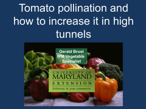 Tomato pollination and how to increase it in high tunnels Gerald Brust