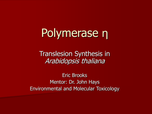 Polymerase η Arabidopsis thaliana Translesion Synthesis in Eric Brooks