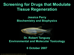 Screening for Drugs that Modulate Tissue Regeneration