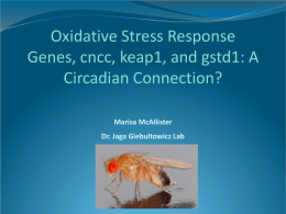 Oxidative Stress Response Genes, cncc, keap1, and gstd1: A Circadian Connection? Marisa McAllister