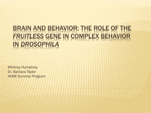 BRAIN AND BEHAVIOR: THE ROLE OF THE DROSOPHILA FRUITLESS Whitney Humphrey